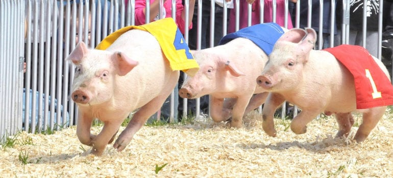 The pig race is on